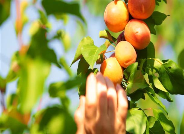 تعرفه بيمه محصولات باغي سال زراعي 96-97